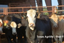 DTN Livestock Midday: Cattle Futures Pull Back From Early Gains