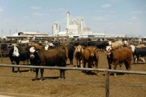 DTN Livestock Midday: Sluggish Morning Trade