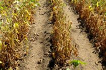 Alabama Soybeans: Charcoal Rot – A Hidden Threat to Yields
