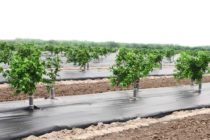 Texas Citrus: Raised Beds Offer Multiple Benefits to Growers