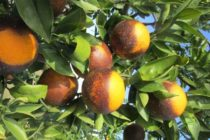 Florida Citrus: Insecticide Applications Can Cause Additional Outbreaks