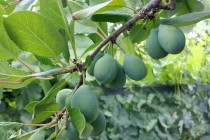 California Prunes: Fall Orchard Management Considerations