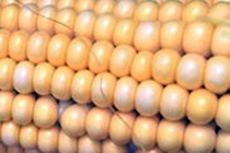 Grain Markets: Current Corn Price Prospects