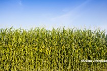 Illinois Corn: Revenues Below $700 per Acre Possible in 2017