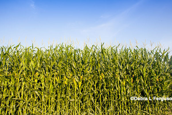 Illinois: Northwestern Ag Research Center Field Day, Monmouth, July 26