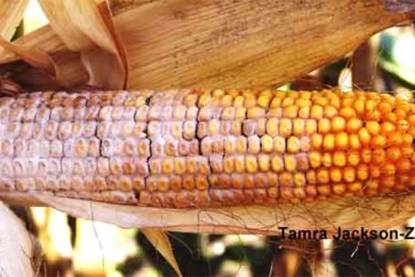 Texas Corn: Fumonisin Reports Trigger Emergency Meetings, Sept. 27