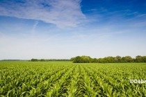 Corn Growers Favor Revenue Protection in Midwest
