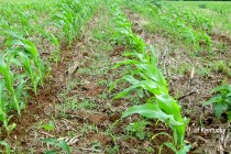 Ohio Corn: Is Yield Jeopardized When Replants Result in Excessive Stands?