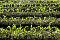 Illinois Corn: Still Time to Apply Nitrogen, or to Lose It