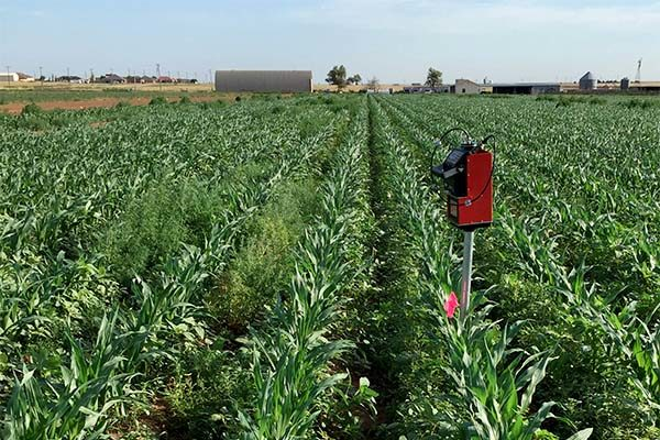 Corn: Weeds Left Untreated May Cost You in Yield and Water – Texas Study