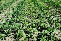 Louisiana: Weeds Are a Year-Round Problem