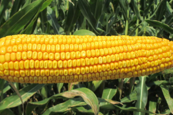 Indigo Corn Demonstrates Significant Yield Gains on Farms Experiencing Severe Water Stress