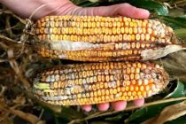 Texas Corn: Post-Harvest Handling of Fumonisin Contamination