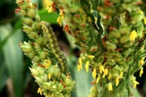 "Oklahoma Sorghum: Pest Management – How to Make a Decision for this ""Horse Race""?"