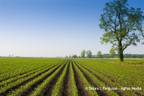 Atrazine Phase Out: What are the Alternatives for Sweet Corn?