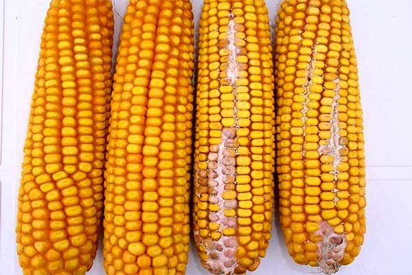 Oklahoma Corn: Concerns of Mycotoxin Contamination on the Rise
