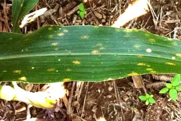 Pennsylvania Corn, Soybeans: Time to Be Scouting for Diseases