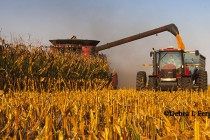 South Carolina Corn: Harvest Underway in the Pee Dee, Yields Look Good