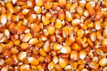 Welch on Grain: USDA Raises Corn Yield, Ending Stocks