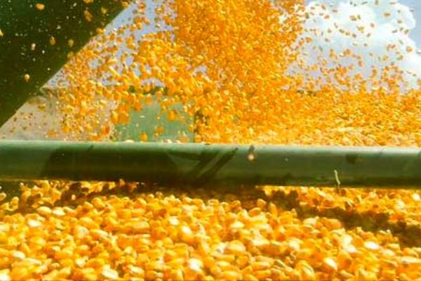 Midwest Corn Market: Bumper Crop or Not, Don't Count on a Better Basis – DTN