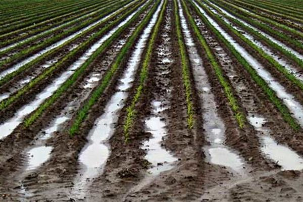 Georgia Field Reports: Rains Too Much of a Good Thing in Some Areas