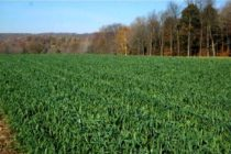 Pennsylvania Corn: Herbicides and Rotation to Cover Crops