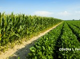Grain Markets: Summer Pricing for Corn and Soybeans
