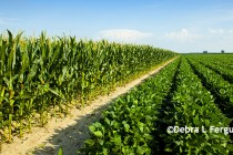 Illinois: Corn and Soybean Crop Revenue – Narrowing the Gap