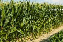 Corn, Soybeans: Projecting NASS Jan. Planted Acreage Estimates