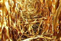 Ohio Corn: Field Drying and Harvest Losses