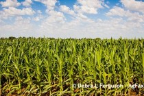 Mississippi: 2016 Corn Hybrid Demonstration Program Summary