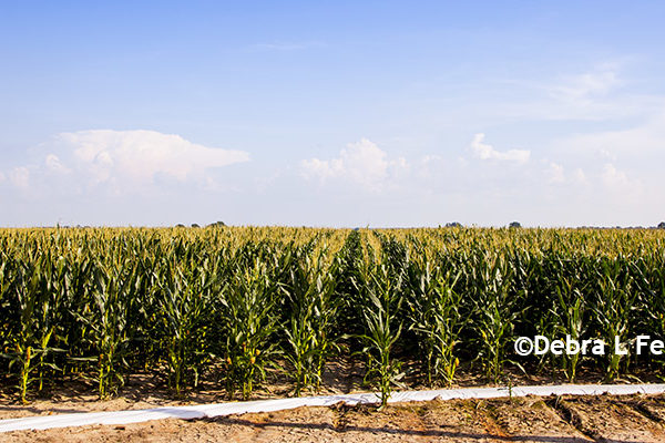 Bt Corn: Rootworm Rules Update – EPA Eases the Noose – DTN