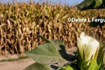 Tennessee: UT Extension Crop Budgets Now Available