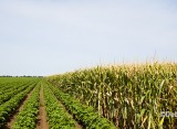 Southern Corn: Protect Bt Corn – Plant a Refuge if You're Also Growing Cotton