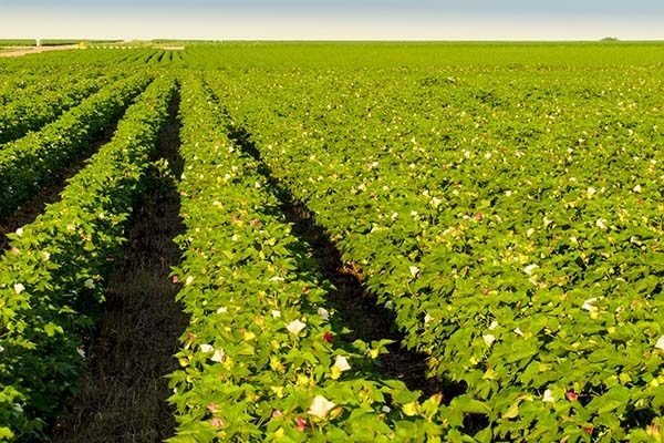 Flint on Crops: Late Cotton Needs More Summer – Commentary