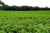 Virginia Cotton: Good Growth, Heavy Fruitload; What to Do About Pix?