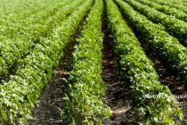 Tennessee: 2018 Cotton Variety Guide Now Available