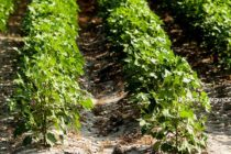 South Carolina Field Reports: Crops Look Healthy, Good Yield Potential
