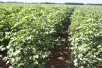 Alabama Cotton: Crop Escapes Major Hurricane Damage
