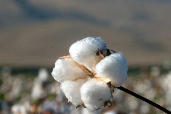 Cleveland on Cotton: Demand Grows as Price Becomes More Competitive