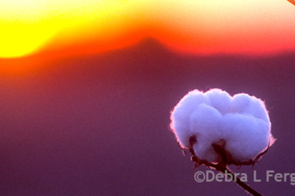 DTN Cotton Close: Lower in Old-Crop Deliveries
