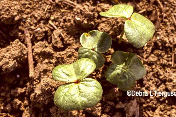 Alabama: Cotton Seedling Diseases