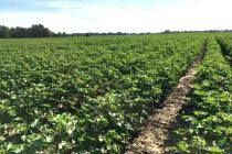 DTN Cotton Open: Inches Ahead on Final Day of Crop Year