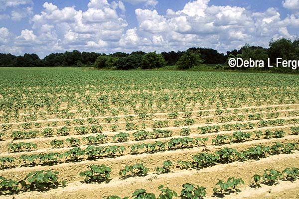 Rose on Cotton: Latest Market Action Supported By Outside Factors