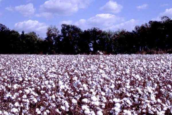 Cottonseed as a Covered Commodity – Review of Senate Ag Appropriations Bill
