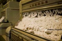 Rose on Cotton: We Expect Domestic Consumption to Rise