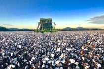 Rose on Cotton: Potential Pricing Opportunities Still Exist