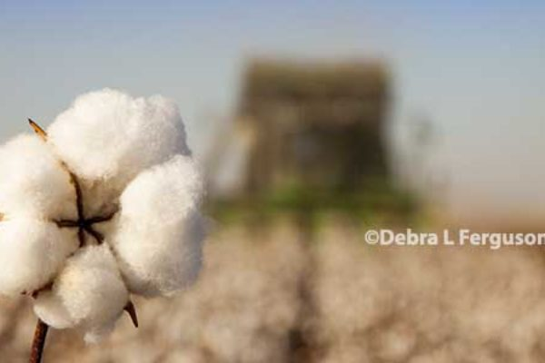 Cotton: NCC Chair Pushes to Bring Cotton Back into ARC and PLC Programs