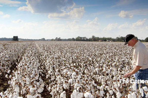 Global Markets: Cotton – India's Stocks Lower on Higher Use