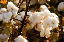 U.S. Cotton Policy: How We Got Here. And, What's Next?